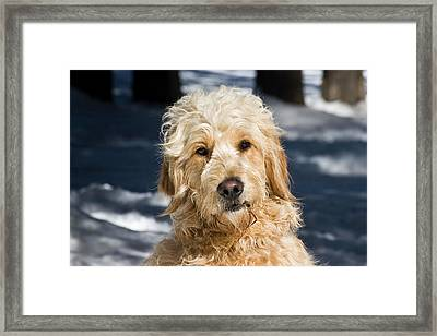 Portrait Of A Goldendoodle Sitting Framed Print by Zandria Muench Beraldo