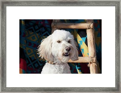Portrait Of A Goldendoodle Framed Print