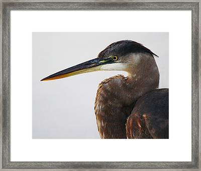Portrait Of A Great Blue Heron - # 19 Framed Print by Paulette Thomas
