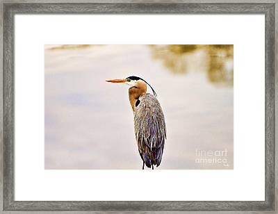 Portrait Of A Great Blue Heron Framed Print by Scott Pellegrin