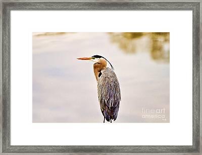 Portrait Of A Great Blue Heron Framed Print