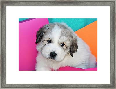 Portrait Of A Great Pyrenees Puppy Framed Print by Zandria Muench Beraldo