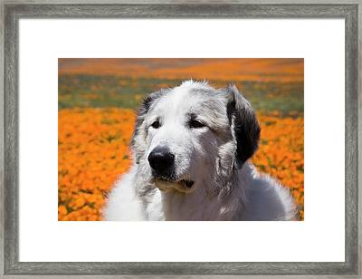 Portrait Of A Great Pyrenees Standing Framed Print by Zandria Muench Beraldo