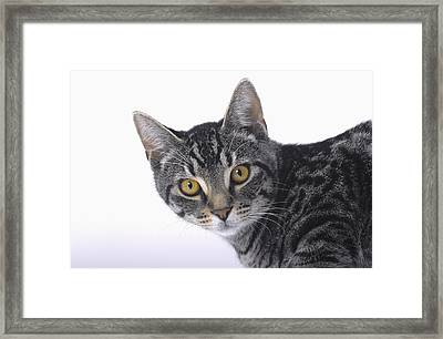 Portrait Of A Grey Tabby Catvancouver Framed Print by Thomas Kitchin & Victoria Hurst