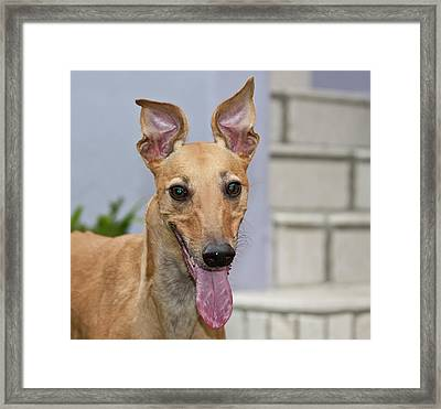 Portrait Of A Greyhound Framed Print by Zandria Muench Beraldo