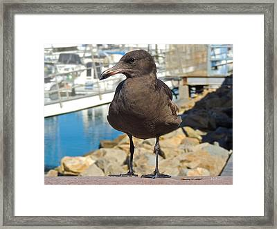 Portrait Of A Grumpy Gull Framed Print by Brian D Meredith
