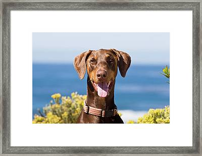 Portrait Of A Happy Doberman Pinscher Framed Print by Zandria Muench Beraldo