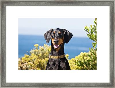 Portrait Of A Happy Doberman Framed Print by Zandria Muench Beraldo
