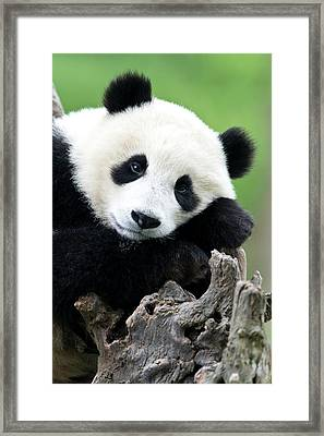 Portrait Of A Juvenile Giant Panda Framed Print by Tony Camacho