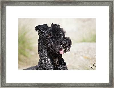 Portrait Of A Kerry Blue Terrier Framed Print