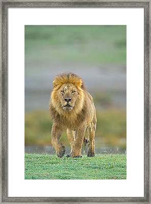 Portrait Of A Lion Walking In A Field Framed Print by Panoramic Images