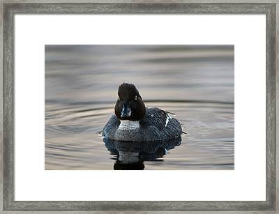 Portrait Of A Male Common Goldeneye Framed Print by Sergio Pitamitz