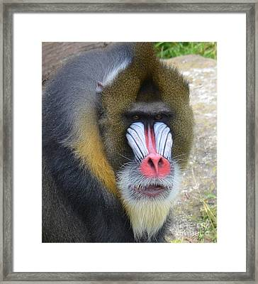 Portrait Of A Mandrill Framed Print by Jim Fitzpatrick