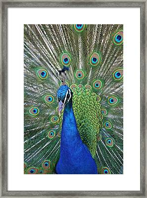 Framed Print featuring the photograph Portrait Of A Peacock by Diane Alexander