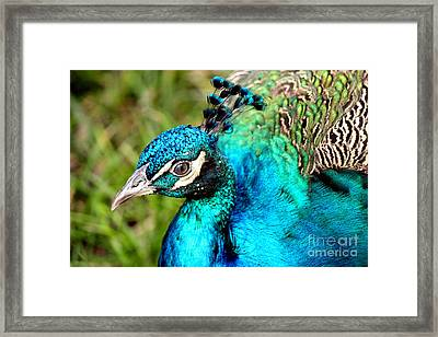 Framed Print featuring the photograph Portrait Of A Peacock by Kathy  White