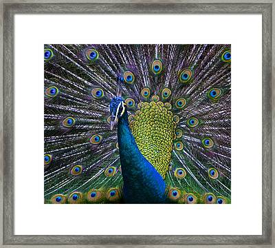 Portrait Of A Peacock Framed Print by Venetia Featherstone-Witty