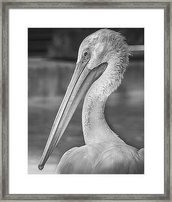 Portrait Of A Pelican Framed Print by Jon Woodhams