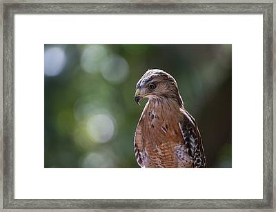 Portrait Of A Perched Hawk With Intense Framed Print by Sheila Haddad