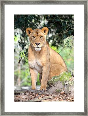 Portrait Of A Proud Lioness Framed Print