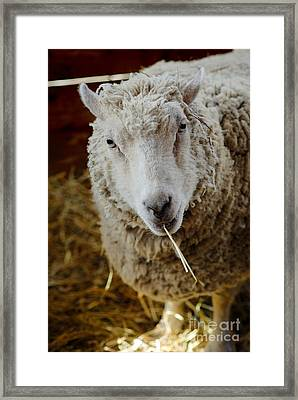 Portrait Of A Sheep Eating Hay Framed Print