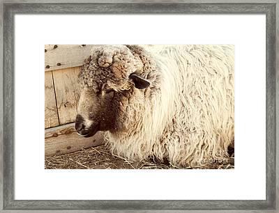 Portrait Of A Sheep Framed Print by Juli Scalzi