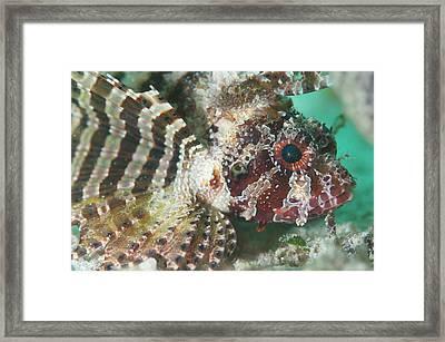 Portrait Of A Shortfin Lionfish Framed Print by Scubazoo