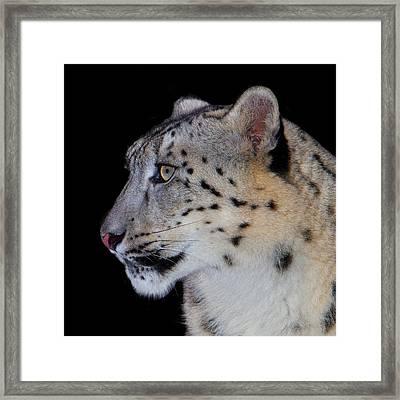 Portrait Of A Snow Leopard Framed Print by John Absher