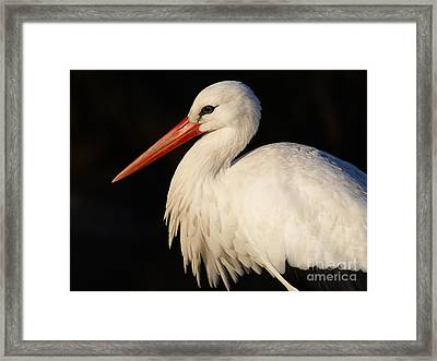 Portrait Of A Stork With A Dark Background Framed Print