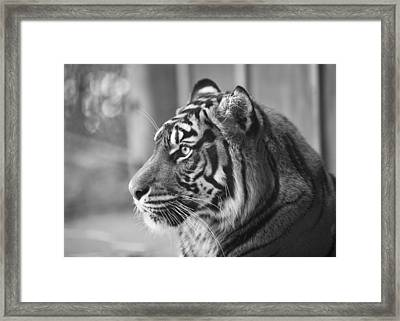 Portrait Of A Sumatran Tiger Framed Print
