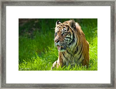Framed Print featuring the photograph Portrait Of A Sumatran Tiger by Jeff Goulden