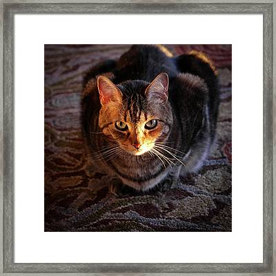 Portrait Of A Tabby Cat With Sunlight Framed Print by Al Petteway & Amy White