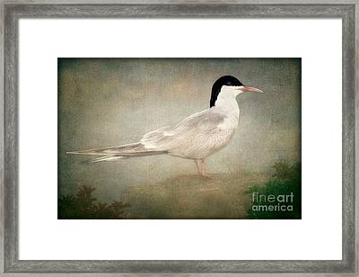 Portrait Of A Tern Framed Print by Tom York Images