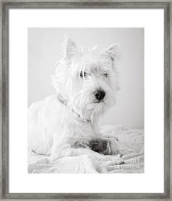 Portrait Of A Westie Framed Print