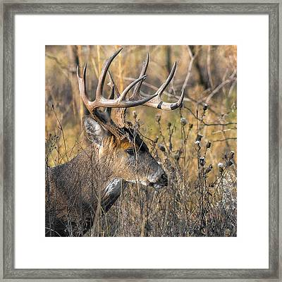 Portrait Of A Whitetail Framed Print