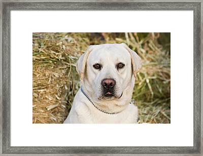 Portrait Of A Yellow Labrador Retriever Framed Print by Zandria Muench Beraldo