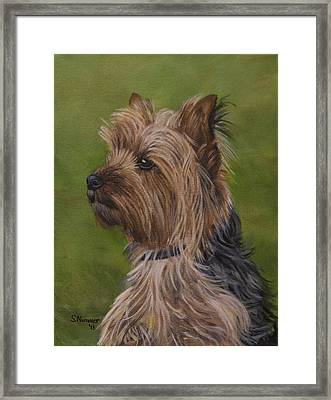 Portrait Of A Yorkie Framed Print by Sharon Nummer