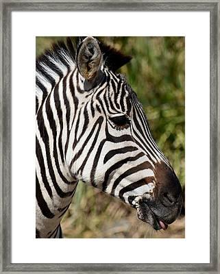 Portrait Of A Zebra Framed Print by Maria Urso