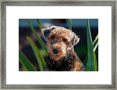 Portrait Of An Airedale Terrier Framed Print by Zandria Muench Beraldo