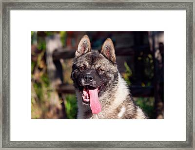 Portrait Of An Akita Framed Print by Zandria Muench Beraldo
