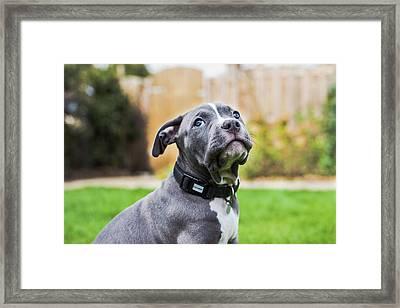Portrait Of An American Bulldog Puppy Framed Print by Veravanoudheusden
