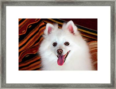 Portrait Of An American Eskimo Dog Framed Print