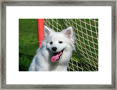 Portrait Of An American Eskimo Puppy Framed Print