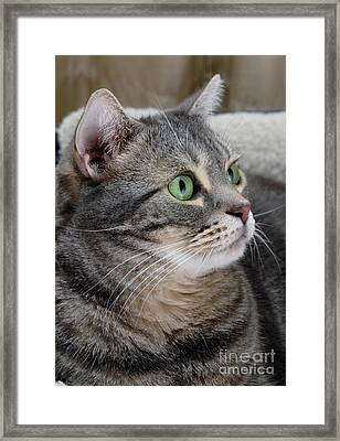 Portrait Of An Ameriican Shorthair Cat Framed Print by Amy Cicconi