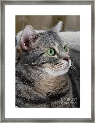 Portrait Of An Ameriican Shorthair Cat Framed Print