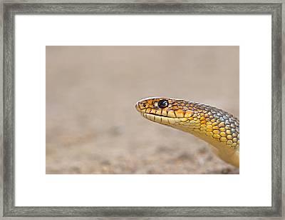 Portrait Of An Arrow Snake Framed Print