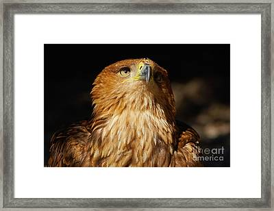 Framed Print featuring the photograph Portrait Of An Eastern Imperial Eagle by Nick  Biemans