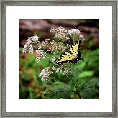 Portrait Of An Eastern Tiger Framed Print by Al Petteway & Amy White