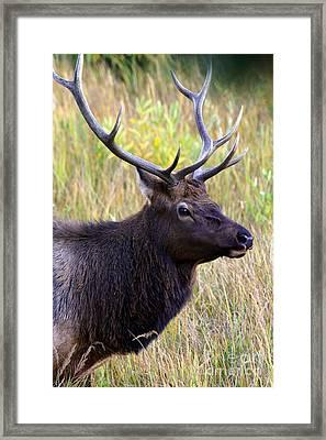 Portrait Of An Elk Framed Print