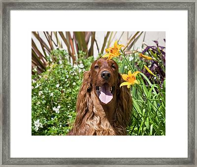 Portrait Of An Irish Setter Sitting Framed Print