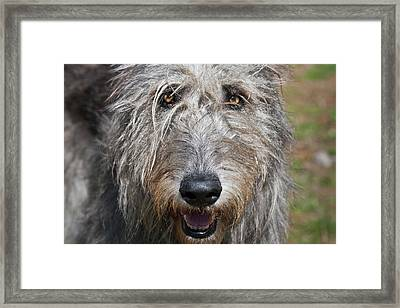 Portrait Of An Irish Wolfhound Framed Print by Zandria Muench Beraldo